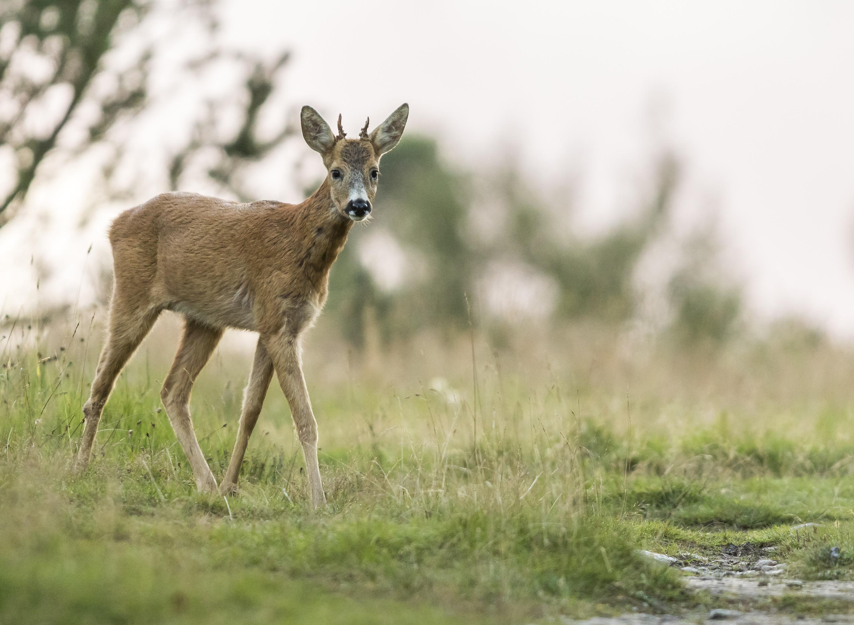 Curious venison
